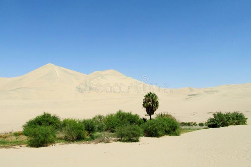 铺沙沙漠沙丘和绿色绿洲与灌木和棕榈树 免版税库存图片