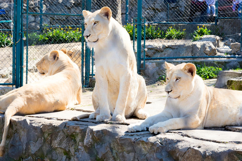 锁着的狮子 库存图片