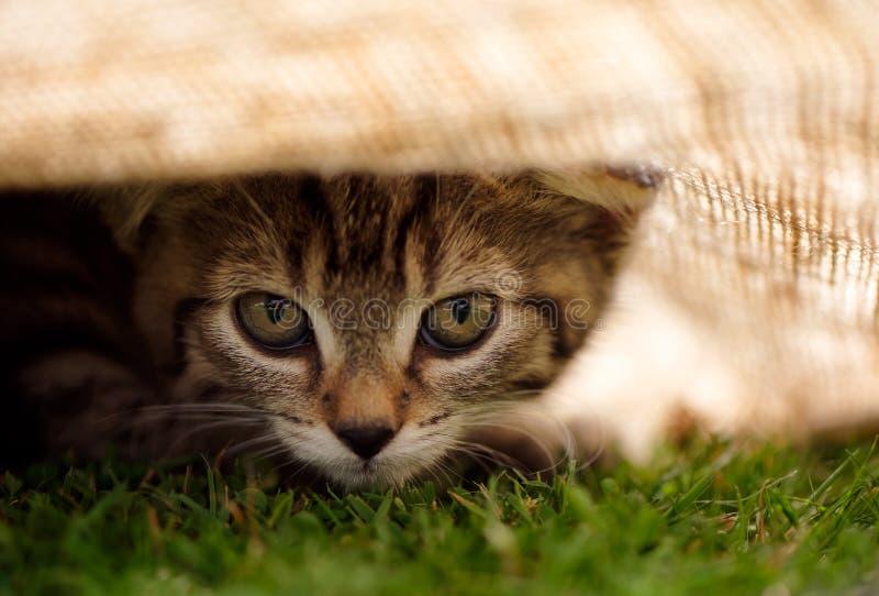 锐化从布料下面的平纹小猫 免版税库存照片