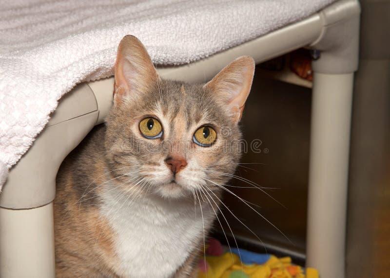 锐化从床下面的被稀释的杂色猫 免版税库存图片