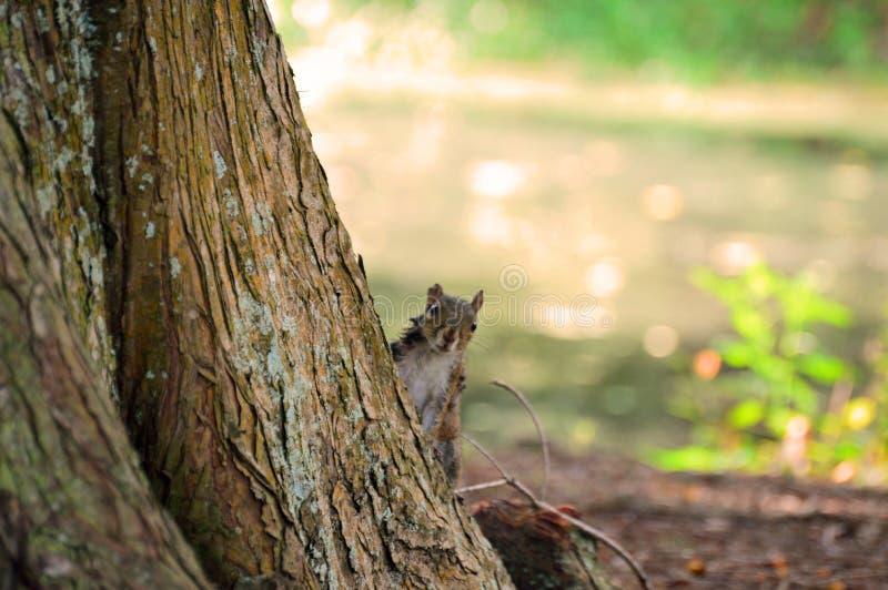 锐化在树后的灰鼠 图库摄影