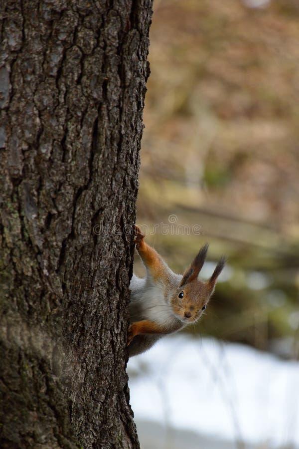 锐化在树后的逗人喜爱的灰鼠 免版税图库摄影