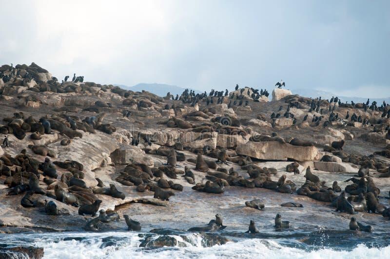 错误海湾的,南非封印海岛 免版税库存图片