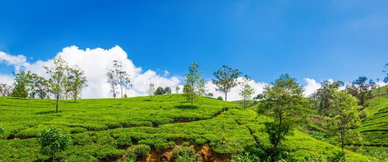 锡兰茶的绿色种植园 库存图片
