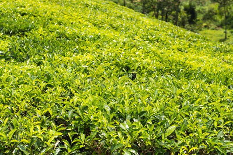 锡兰茶的绿色种植园 免版税库存照片