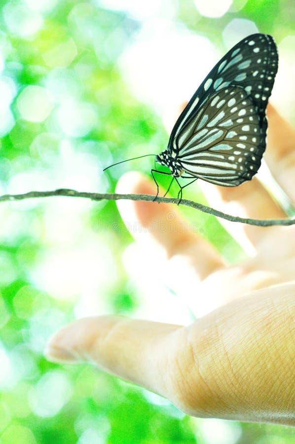 锡兰蓝色玻璃状老虎蝴蝶- Ideopsis similis 免版税图库摄影