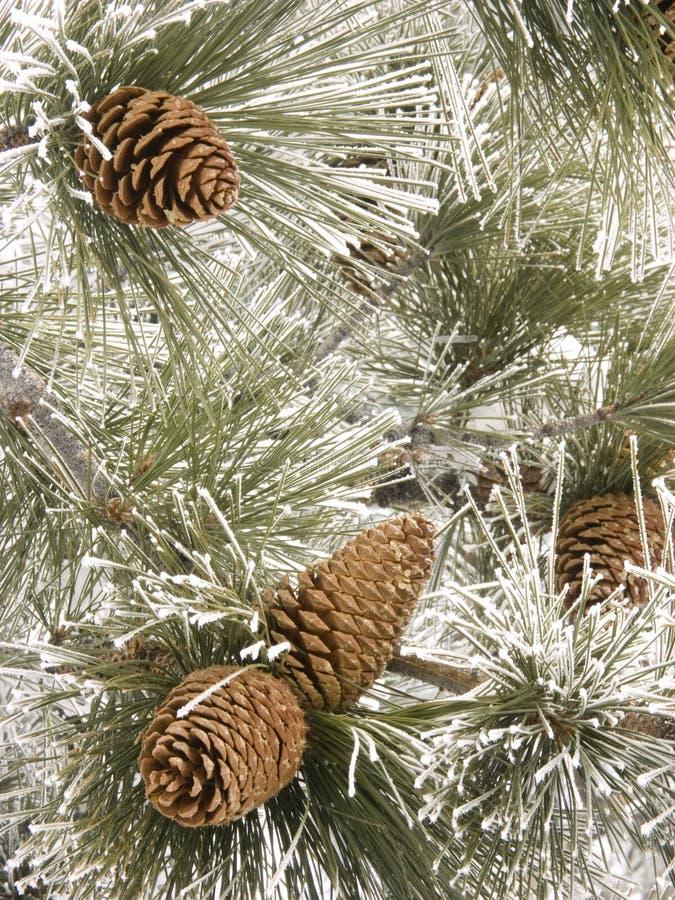 锥体冷淡的杉木 库存照片