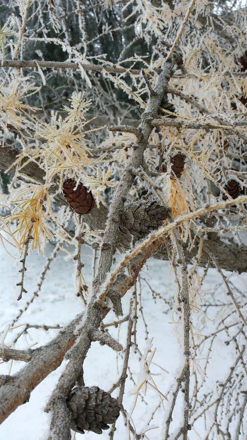 锥体冷淡的杉木 图库摄影