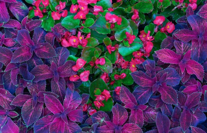 锦紫苏杂种 与锦紫苏紫色叶子的背景  r 免版税图库摄影