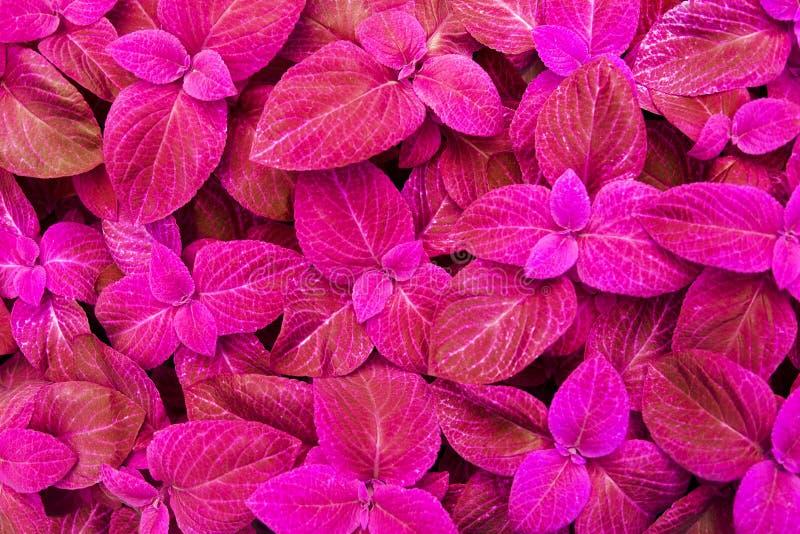 锦紫苏桃红色留下装饰背景关闭,绘了荨麻开花植物,明亮的紫色叶子纹理,抽象倒挂金钟 免版税库存图片