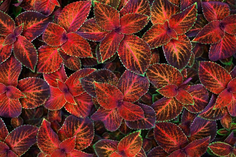 锦紫苏深红,桃红色,黑和绿色叶子装饰背景关闭,被绘的荨麻植物,异乎寻常的橙色叶子纹理 免版税库存照片