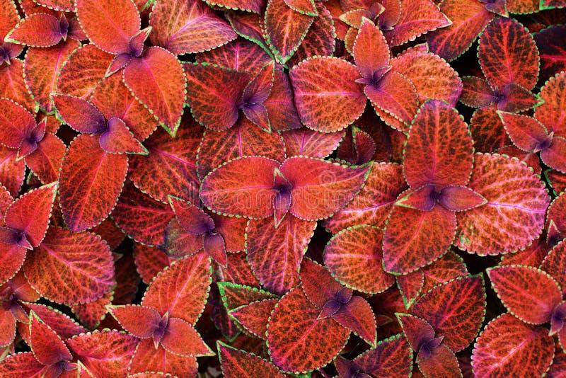 锦紫苏红色留下装饰背景关闭,绘了荨麻开花植物,明亮的橙色和绿色叶子纹理 库存照片
