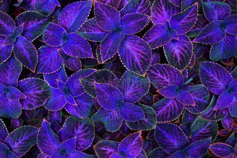 锦紫苏黑暗的紫色,桃红色和黑叶子装饰背景关闭,被绘的荨麻植物,明亮的紫罗兰色叶子纹理 免版税库存图片