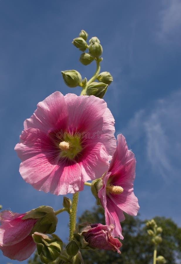 锦葵属紫色 库存照片