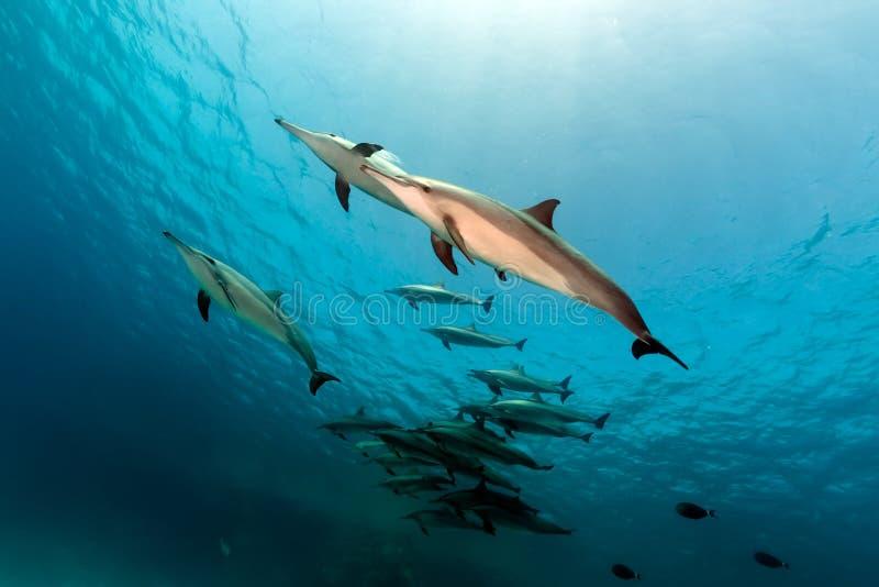 锭床工人海豚(stenella longirostris)荚在红海。 免版税库存照片