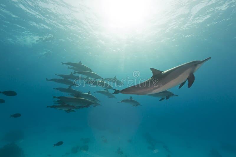 锭床工人海豚(stenella longirostris)荚在红海。 免版税库存图片