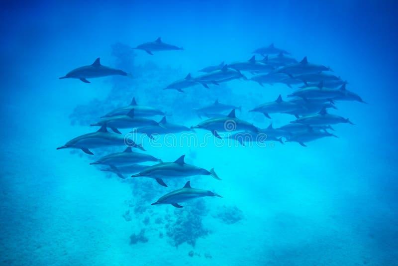 锭床工人游泳在礁石的海豚荚 库存照片