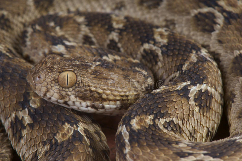 锯被称的蛇蝎/Echis pyramidum 免版税图库摄影