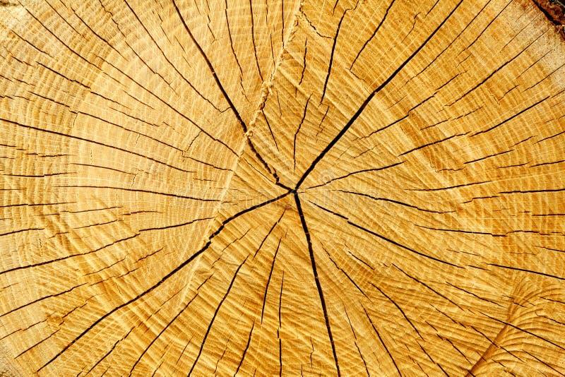 镇压环形结构树 免版税库存图片