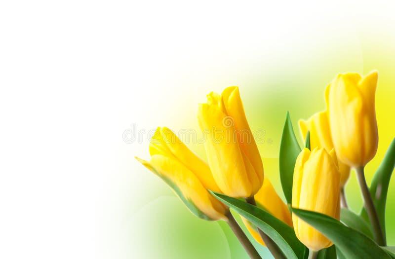 镇静花背景 春天黄色郁金香 免版税库存照片