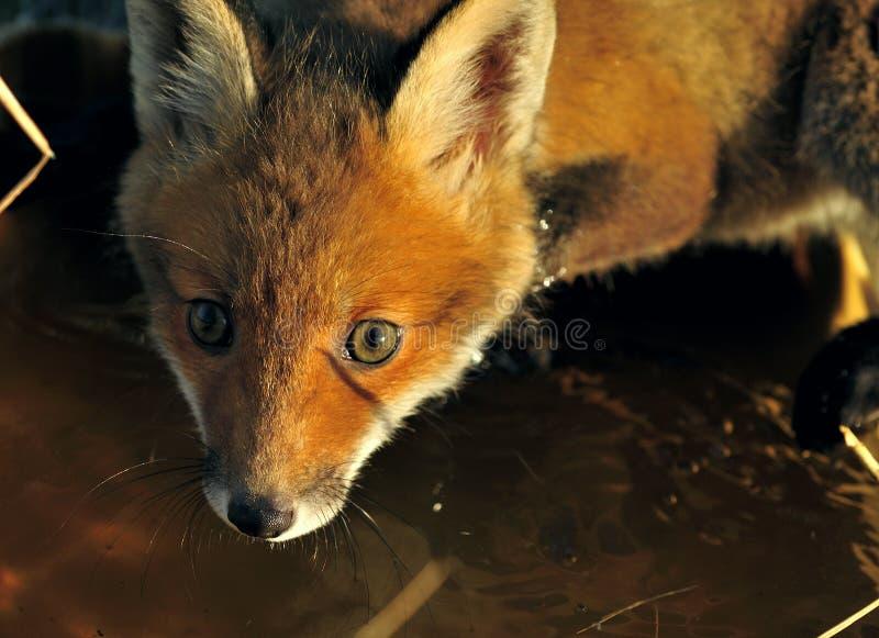 镍耐热铜(狐狸狐狸)的画象 免版税库存照片