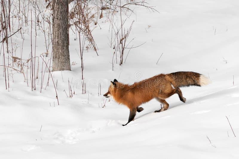 镍耐热铜(狐狸狐狸)通过如毛刷区域小跑 库存照片