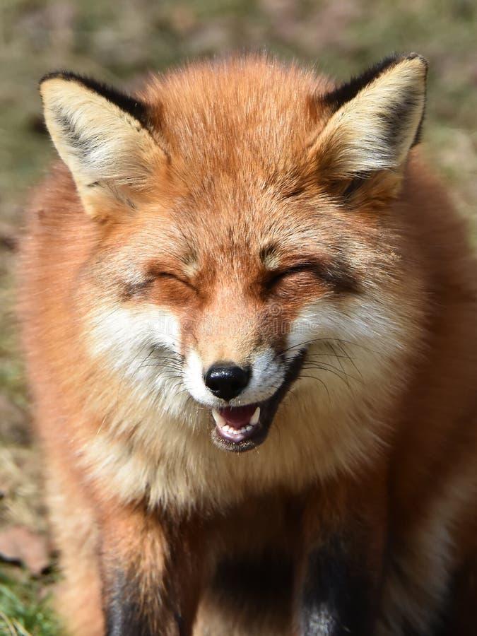 镍耐热铜(狐狸狐狸) 库存图片