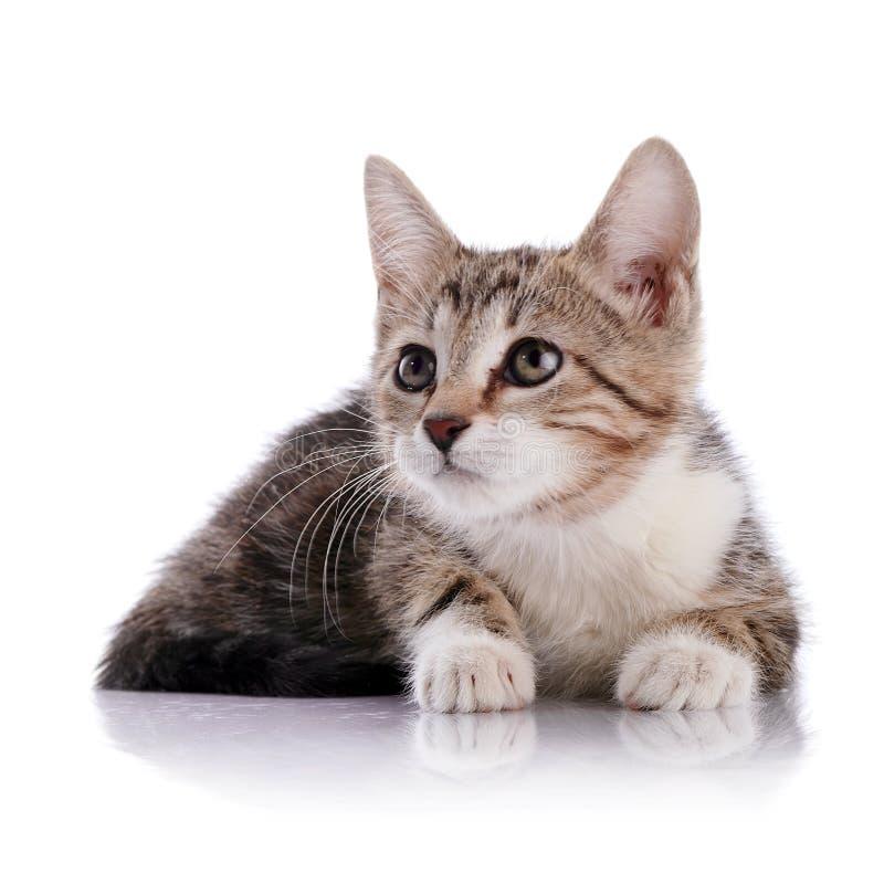 镶边与白色一只小小猫 免版税库存照片