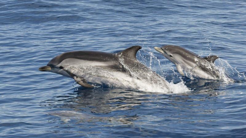 镶边海豚- Stenella coeruleoalba -母亲和两个婴孩-地中海,卡内特en鲁西永,法国 免版税库存照片
