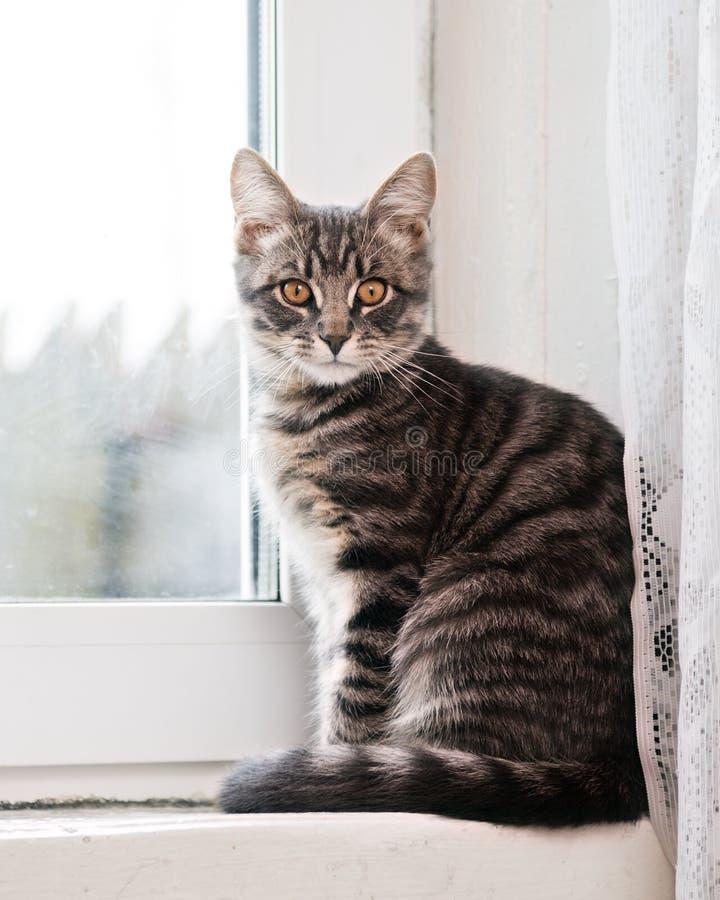 镶边猫坐窗台 免版税库存照片