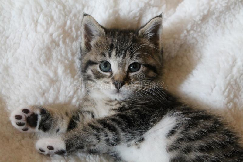 镶边白棉布小猫 免版税库存图片