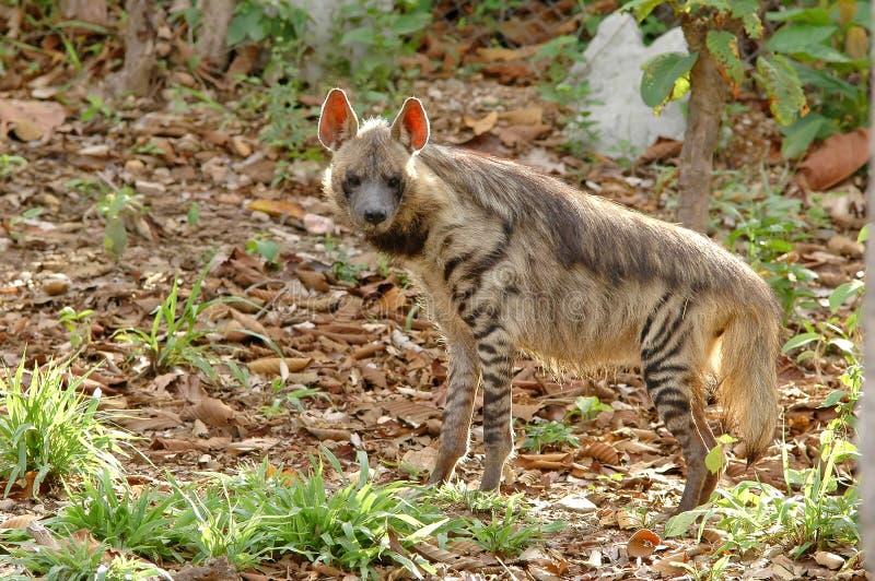 镶边的鬣狗 免版税库存照片