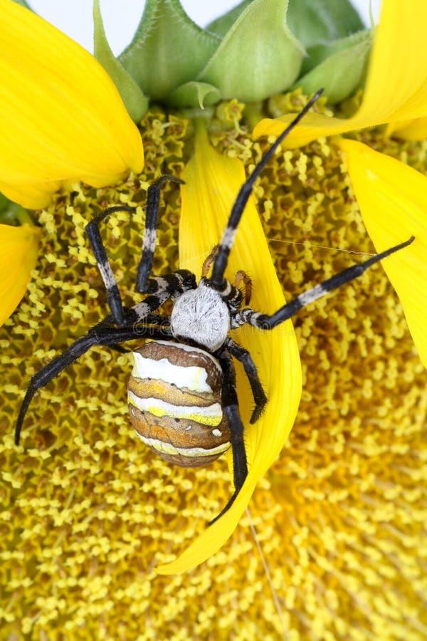 镶边的argiope蜘蛛 库存照片