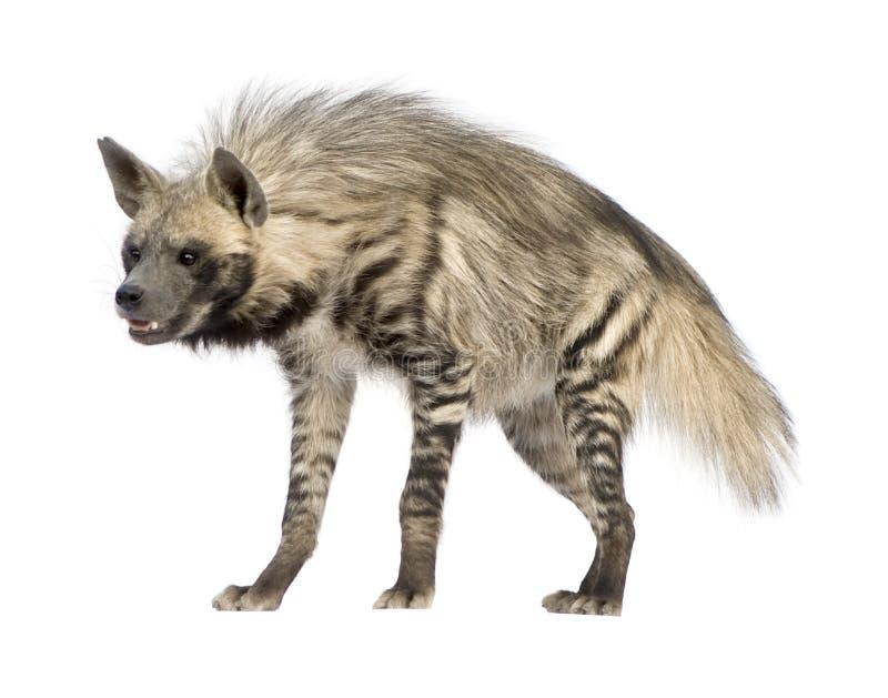 镶边的hyaena鬣狗 免版税库存照片