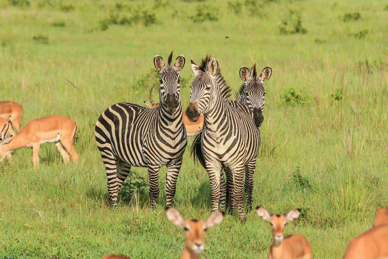 镶边野生非洲斑马和飞羚 免版税图库摄影