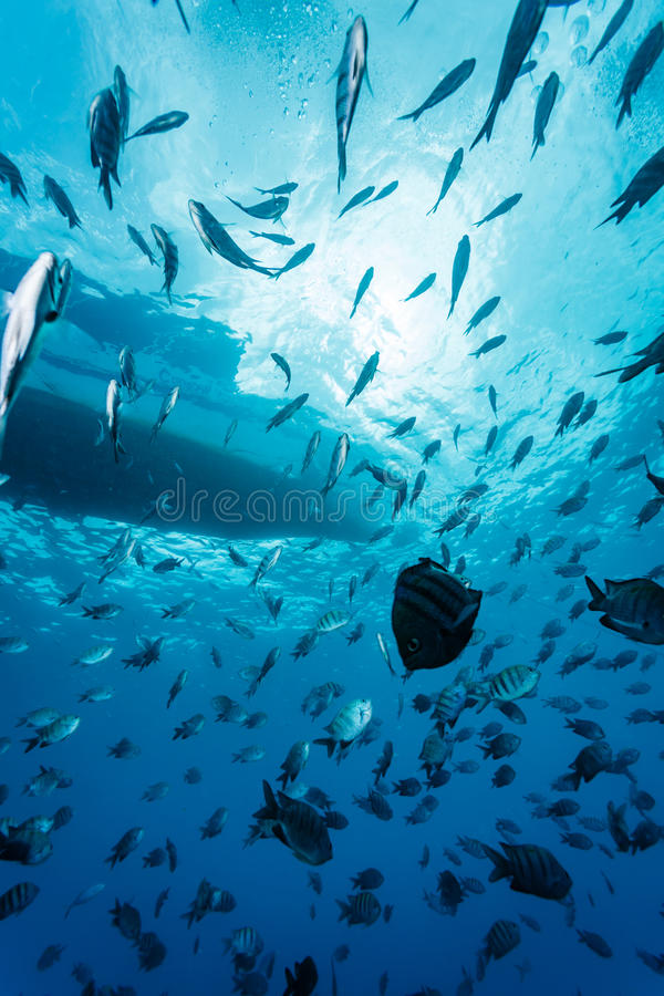 镶边鱼学校在小船附近游泳 库存照片