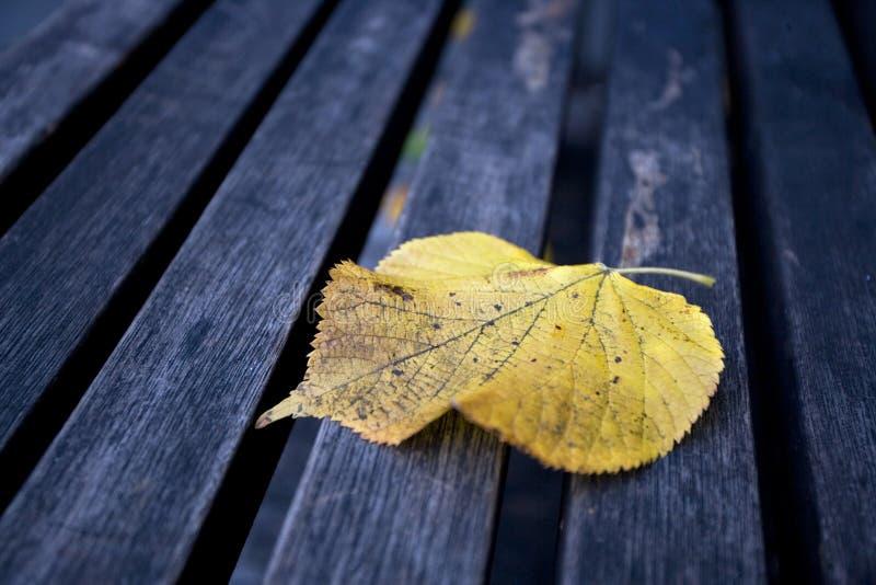长凳叶子槭树唯一木 免版税库存照片