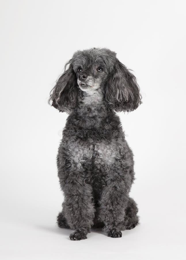 长卷毛狗坐的演播室画象 免版税图库摄影
