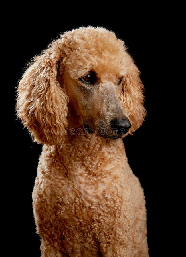 长卷毛狗画象在演播室 免版税图库摄影