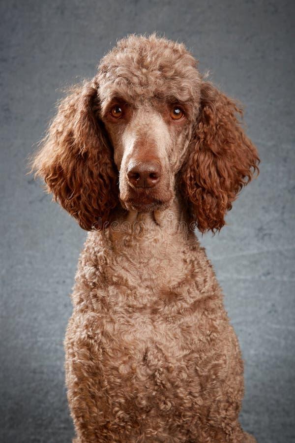 长卷毛狗画象在演播室 库存图片
