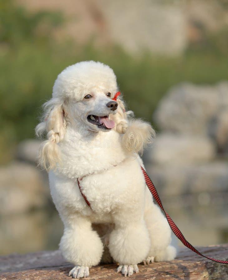 长卷毛狗白色 库存图片