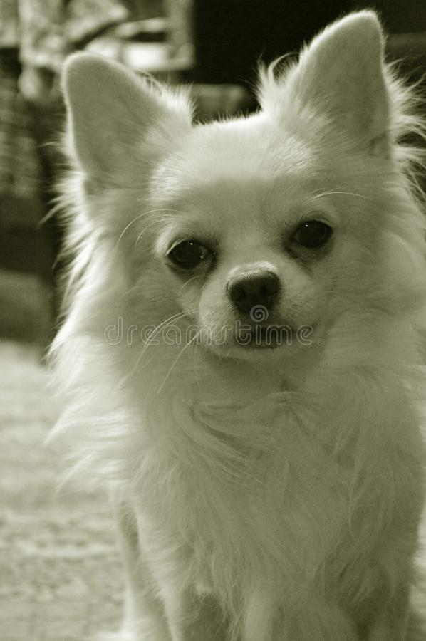 长发狗奇瓦瓦狗品种的黑白画象 免版税库存图片