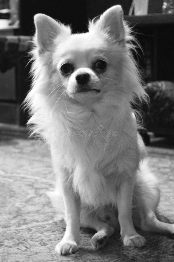 长发狗奇瓦瓦狗品种的黑白画象 图库摄影