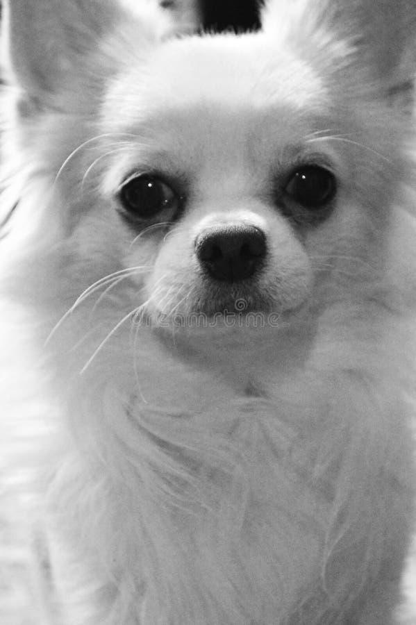 长发狗奇瓦瓦狗品种的黑白画象 免版税图库摄影