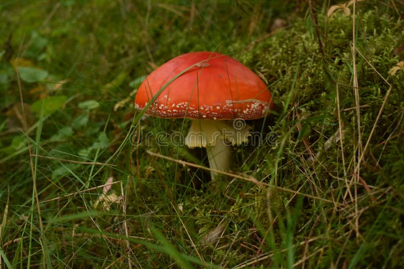 长大在关闭的森林里的蘑菇 免版税库存图片