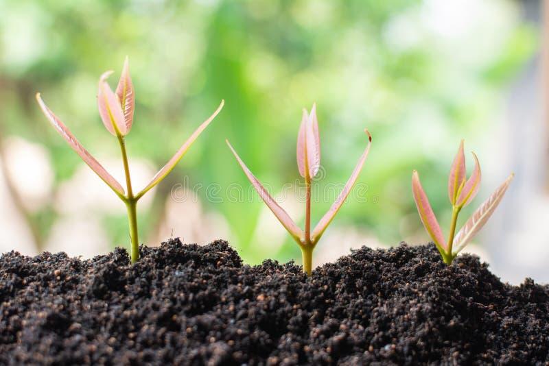 长大在土壤的新鲜的小的植物 库存图片