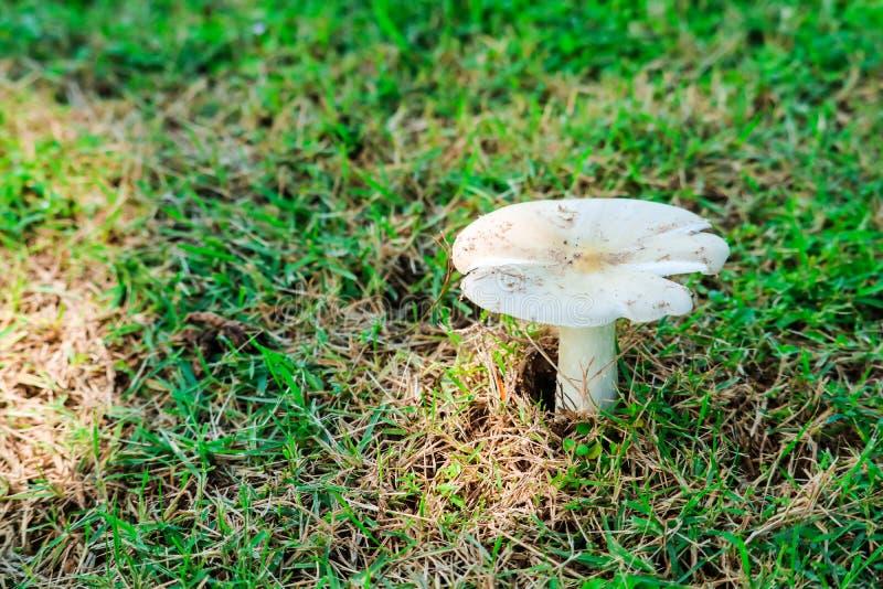 长大在庭院里的白蚁蘑菇在雨下落以后 免版税图库摄影