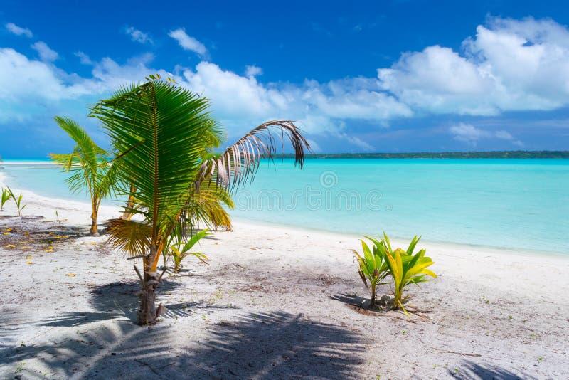 长大在Aitutaki海滩,库克群岛的棕榈树 库存图片