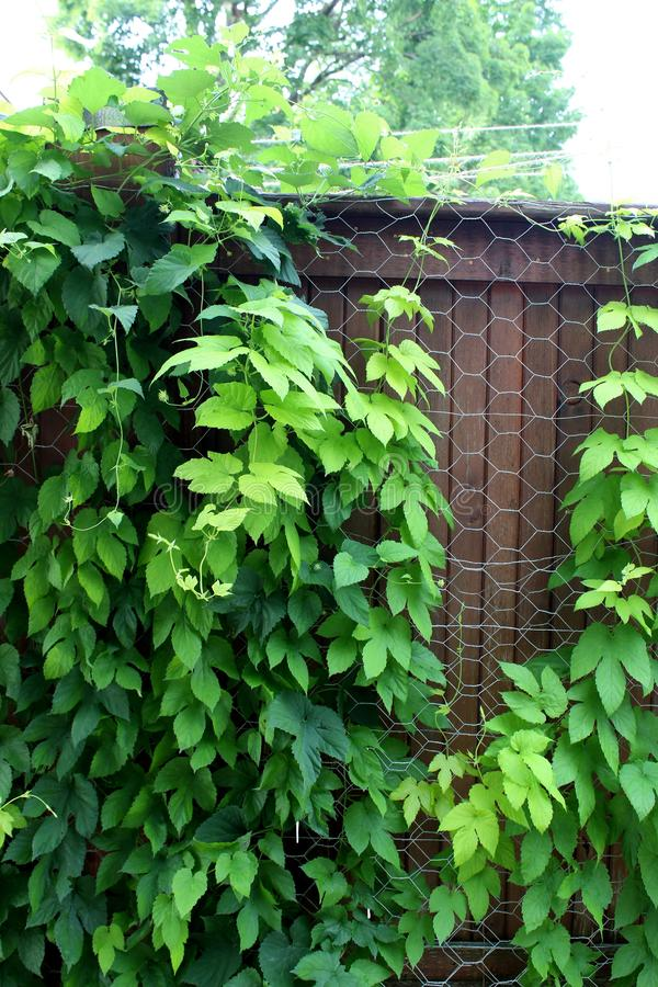 长大通过网状电线操刀的健康绿色常春藤 图库摄影