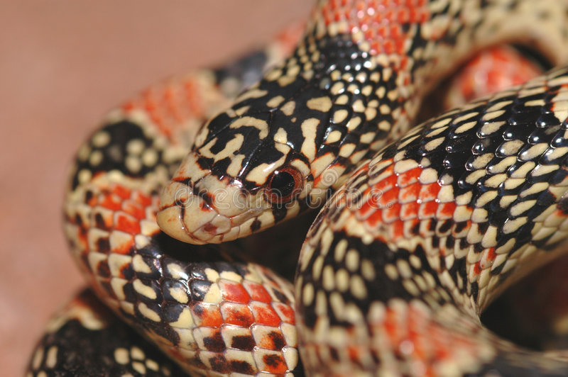 长头宏观蛇 库存照片